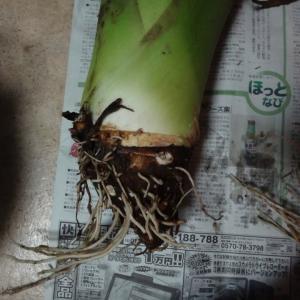 台湾の芋頭、収穫