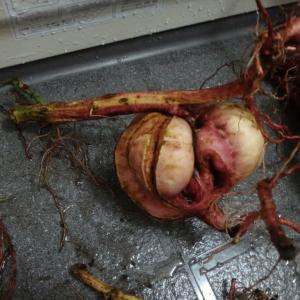 サツマイモ2019:安納芋