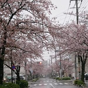 ★雪見桜★
