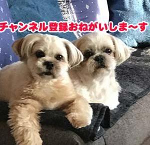 ワンコのベル押し!完璧マスターへの挑戦!#シーズー #ミックス犬 #ベル鳴らし #犬好きさんと繋がりたい #挑戦 #特訓 #成果