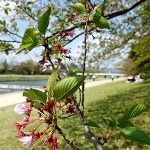 花が散った桜の下