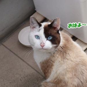 青い目の外猫ちゃん 続報2(捕獲機設置)