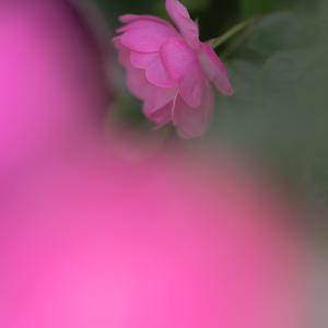 ピンクのモーツアルト・・・