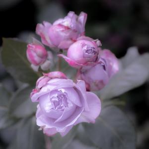 薔薇の仮面・・・