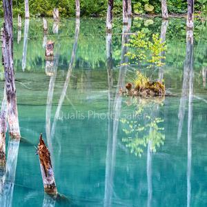 美瑛・蒼い池に小さな命・・・