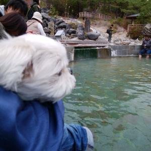 みるく@マルシーズー、草津温泉の足湯♪
