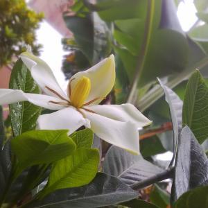 庭に咲いたくちなしの花とグァバの花。