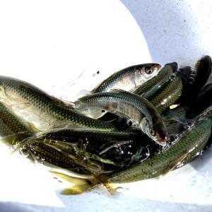 秋晴れの下でヤマベ釣り