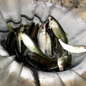 イワシヤマベ釣り