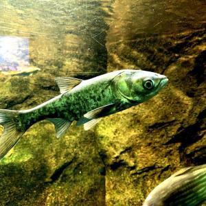 さいたま水族館:流す様に見た下流+外来魚編