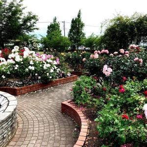 薔薇と初ヤマベ