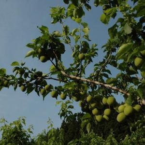 平成30年 完全無農薬 梅の木オーナー募集開始します!