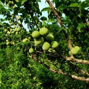 平成31年 完全無農薬 梅の木オーナー募集開始します!