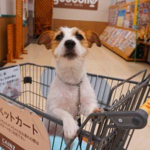 ペットカートの要注意ポイントをジャックラッセルの青丹より❘犬のしつけ