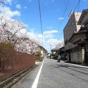 コロナのお陰で見つけた桜並木