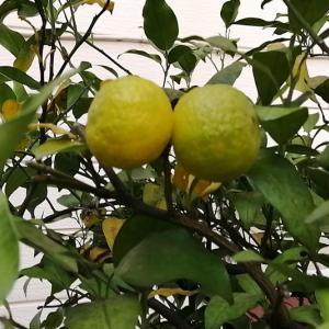 今年の柚子とミカンと落ち葉
