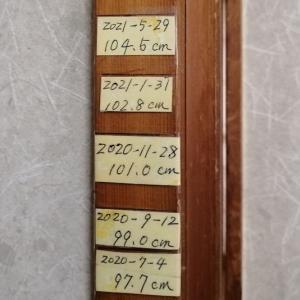 1年で約6.8cm伸びていました