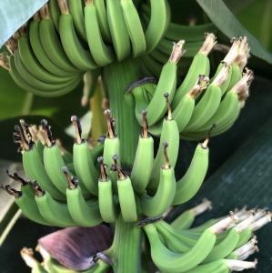 タイでもバナナ