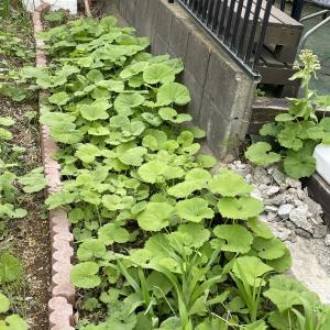 本宅の山菜畑で蕗収穫して、キャラブキ他