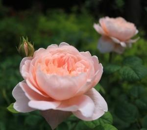 ♪  薔薇とポコ(1)