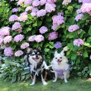 紫陽花とポコ