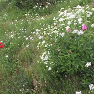 ターシャの庭にも
