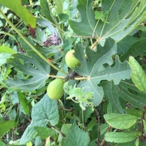 塩田平の庭・無花果の初収穫なるか⁈