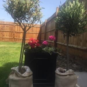 オリーヴの木が2本に増えました