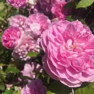 満開の薔薇&プリングルズ・ライスのカツカレー味w