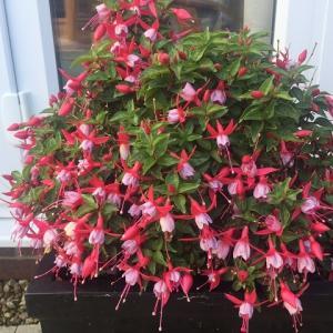 かわいいフーシャの花が増えた♪