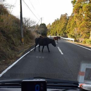 都井岬の岬馬