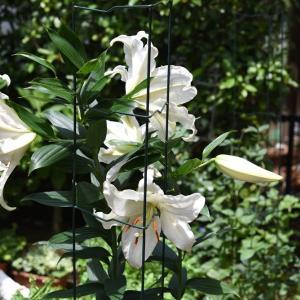 【Seria】庭仕事用に買ってよかった虫よけネット&カサブランカが咲きました♪