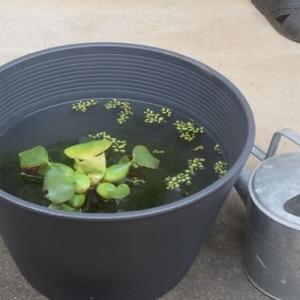 秋の庭仕事(剪定)と睡蓮鉢のメダカちゃん♪