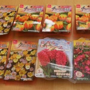 【ダイソー】秋植え球根を買ってみました♪チューリップ&クロッカス。そして冬のお花✨
