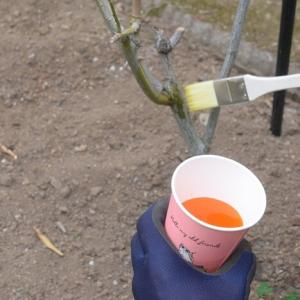 【バラの手入れ】冬の寒肥入れと石灰硫黄合剤を塗りました(・∀・)