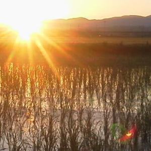 日の出時、田んぼに入水します