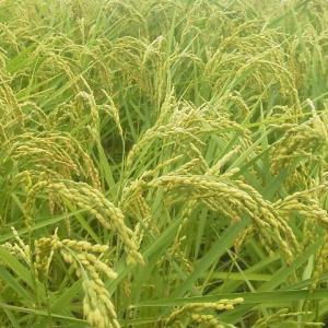 元気米、収穫まであと20日ほど!