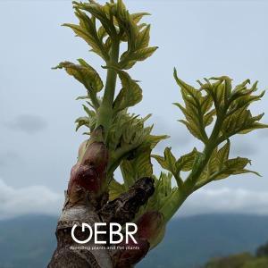 """信州は山菜の聖地 """"タラの芽の原木収穫と松茸"""""""