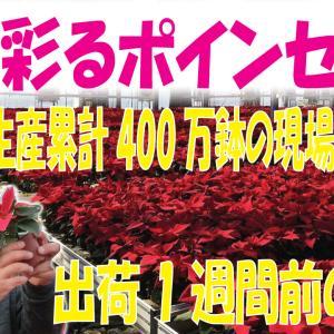 """【ポインセチア生産累計400万鉢】出荷1週間前の生産現場に潜入""""動画有"""""""
