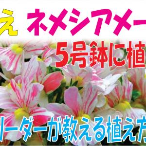 【秋のネメシアを植える】ユーザーさんリクエスト、鉢に植えて楽しむ方法