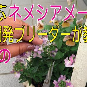 【ネメシアの摘芯方法】竹串を使用します!?【動画有】