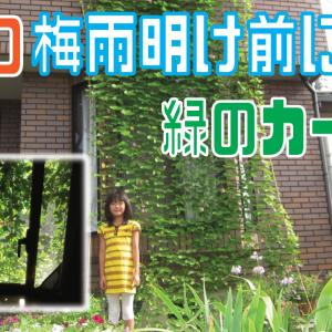 緑のカーテンの設置方法『真夏の青いスイートピー』