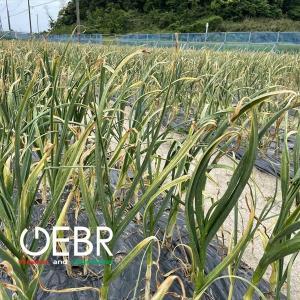 琉球島にんにくの収穫時期になりました~