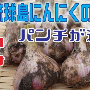 琉球島にんにくの収穫を行う