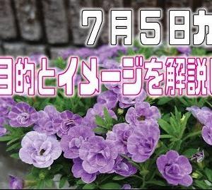 7月5日カリブラコアをカットして、お盆に豪華に咲かせましょう。