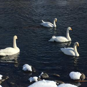『白鳥たち』