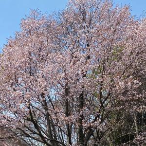 『桜のシーズンですが...』