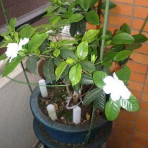 ●鉢植えの花が弱った原因が判明