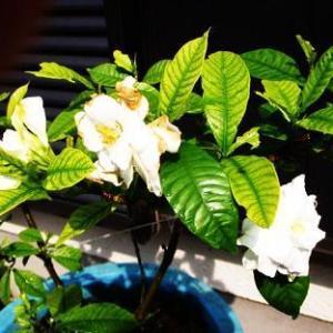 ●クチナシの花が小ぶりですが咲きました。