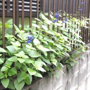 ●玄関先に、また勝手に花が咲きました。